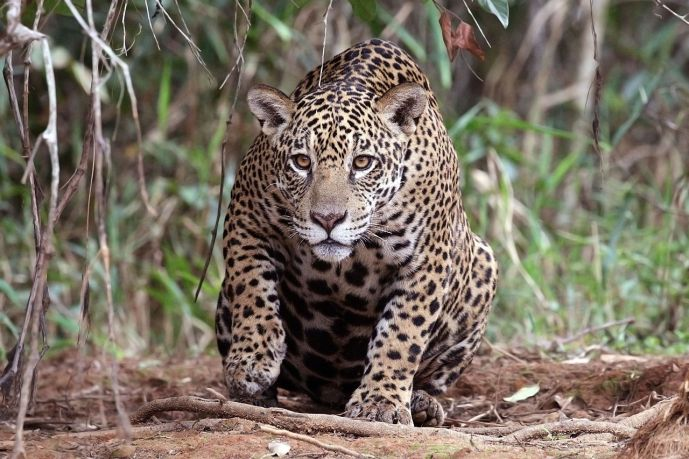 Jaguar_(Panthera_onca_palustris)_female_Piquiri_River_2